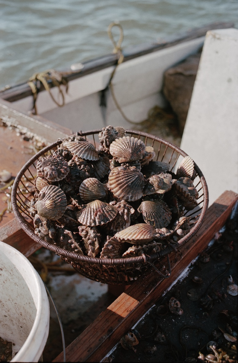 Bay scallops caught opening day of Scallop season in 2010. The shellfish is shucked and sold out of the Lester home.