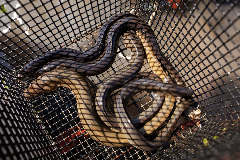 Eel caught in one of Will's traps. (2015)
