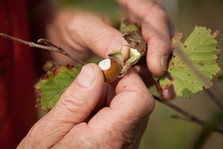 Peter Harman farms hazelnuts, walnuts and pawpaw in Aquebogue, LI.