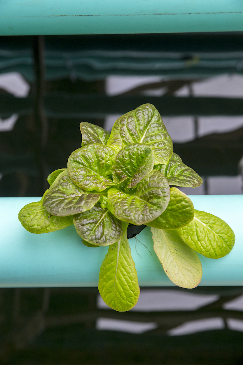 """Butterhead French lettuce. Inside this 100 x30 ft. greenhouse is Fruit of Life, an aquaponic farm in Manorville. There are 100, 20 ft. PVC pipes set in an """"A"""" frame with 2,000 planting holes. 8 fish tanks, each holding 8,000 gallons of filtered water. Tanks will be able to hold more than 3,500 fish. Plants are grown hydroponically and feed on the by-products of the fish. This """"closed loop"""" allows farmers to sell the plants and the fish. Photo by Randee Daddona"""