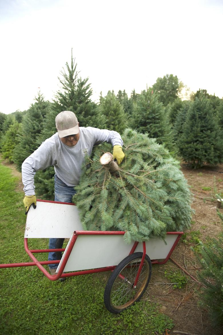 A Christmas Tree Farm Grows in Mattituck | Edible East End