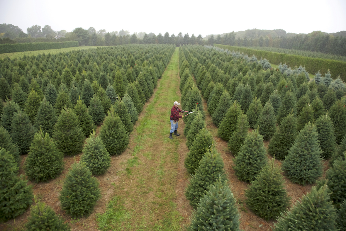 A Christmas Tree Farm Grows In Mattituck